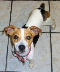 Acey is an adoptable Jack Russell Terrier Dog in Hartford, KY. Anyone who makes Acey part of their family will never be bored. He will keep everyone on their toes and entertained with his lively, pla...
