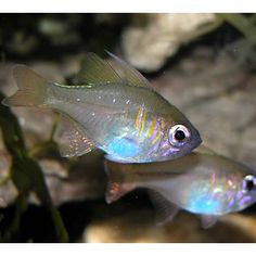 Bluestreak cardinalfish (Apogon leptacanthus)