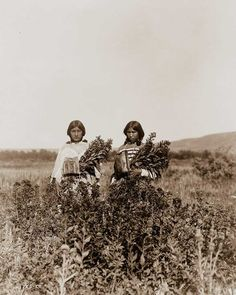 Two Piegan girls gather golden root circa 1900 picture by Edward Curtis Native American Population, Native American Tribes, Native American History, American Indians, American Life, Edward Curtis, Photo Record, Native American Photos, Historical Photos