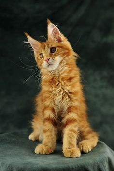 Котенок Мейн Кун Orange Maine Coon, Maine Coon Cats, Pretty Cats, Beautiful Cats, Large Domestic Cat Breeds, Norwegian Forest Cat, Red Cat, Orange Cats, Crazy Cats