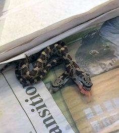 Two-headed Snake Discovered in Texas Backyard #OddNews #TwoHeadedSnake #Snake