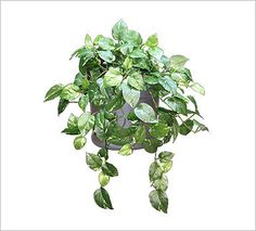 Browse the Ambius catalog of replica plants to view the different plant species we can provide you with. Tall Plants, Live Plants, Green Plants, Tropical Plants, Perennial Flowering Plants, Perennials, Pothos Plant, Evergreen Shrubs, Different Plants