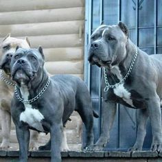 Dogs: Beautiful Pittbulls.