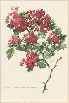 Hawthorn Tree 1960 Vintage Botanical Print от Craftissimo на Etsy
