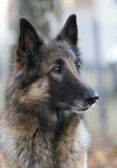 Most Inspiring Cuby Chubby Adorable Dog - 96799804c6943f511d344754a77ce57e--belgian-shepherd-german-shepherds  Pic_205035  .jpg