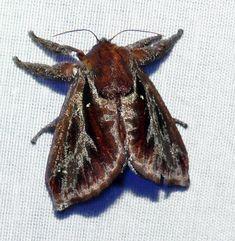 Saddleback caterpillar moth