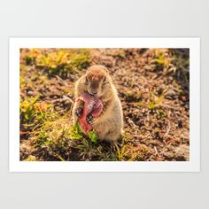 Good food makes good mood.    Absolutely adorable, fun and cute little beggar, Arctic ground squirrel (evrazhka), a habitant of Kamchatka. He hides biscuits, nuts and seeds in the cheeks, but he eats the ham at the place :)