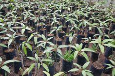 Mangos sind nicht nur lecker, man kann aus dem Kern auch eine Pflanze ziehen und sich lange an ihr erfreuen. Eine Anleitung.