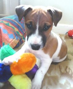 Puppy training for Jack Russell puppies is the first thing we 'boned' up on when we brought our little Jack Russell named Jasper home. I share 6 Quick Tips to start training your puppy...