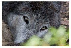 Alaska House Passes Legislation to Protect Wolves Adjacent to the Denali National Park Wolf Spirit, Spirit Animal, Beautiful Creatures, Animals Beautiful, Wolf Cry, Wolf Population, Wolf Photos, Wolf Love, She Wolf