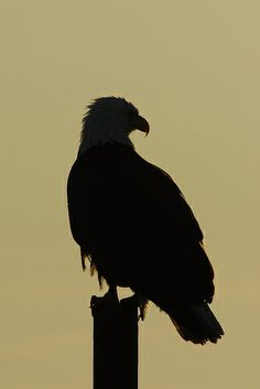 bald eagle silhouette | Recent Photos The Commons Getty Collection Galleries World Map App ...