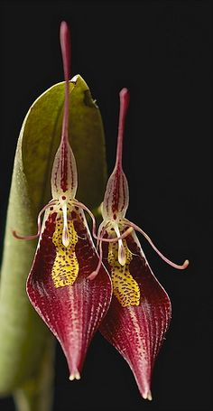 Restrepia contorta, common name The Twisted Restrepia. From Venezuela, Colombia, Peru and Ecuador in cloud forest.