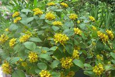 Altın küre çiçeği-Golden global