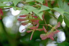 Japanese Maple 'Osakazuki' • Acer palmatum 'Osakazuki' • Plants & Flowers • 99Roots.com