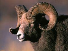 Sheep with Big horn - Bighorn sheep Bird Pictures, Animal Pictures, Big Horn Sheep, Animal Crafts For Kids, Adventure Tours, Rocky Mountain National Park, Rocky Mountains, Animal Drawings, Pet Birds