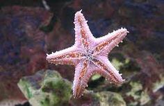 hvězdice mořská - Hledat Googlem