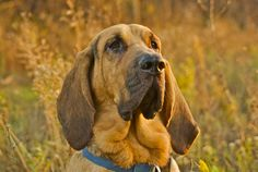 bloodhound | Cute Bloodhound Wallpaper is here. We all see how this dog looks on ...