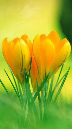 Оранжевые цветы в траве iPhone 5 (5S) (5C) обои - 640x1136