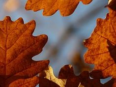 Find images of Oak Leaves. ✓ Free for commercial use ✓ No attribution required ✓ High quality images. Oak Leaves, High Quality Images, Find Image, Free Images, Forests, Oak Leaf Cluster, Woodland Forest, Woods