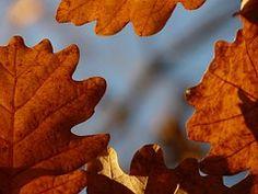 Oak Leaves, Oak, Quercus, Sessile Oak