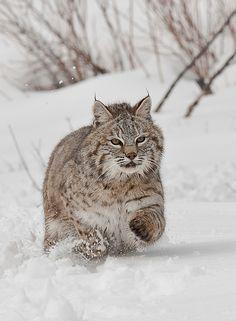 beautiful-wildlife:  BobcatbyTom Littlejohns