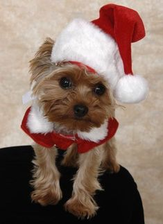 ♥  You know I'm cute!  And also the best looking Christmas pup EVER! #YorkshireTerrier