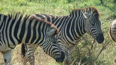 Safari in Kruger National Park, on tailor-made holidays to Skukuza with flights form Johannesburg Airport in South Africa. Kruger National Park, National Parks, Johannesburg Airport, South Africa, Safari, Holidays, Holidays Events, Holiday, Vacations
