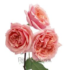 FiftyFlowers.com - Peachy Pink Mini Cabbage Rose