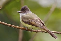 DUSKY CRESTED FLYCATCHER - The dusky crested flycatcher (Elminia nigromitrata) is a species of bird in the Stenostiridae family. It is found in Cameroon, Central African Republic, Republic of the Congo, Democratic Republic of the Congo, Ivory Coast, Equatorial Guinea, Gabon, Ghana, Guinea, Kenya, Liberia, Nigeria, Sierra Leone, South Sudan, Tanzania, and Uganda. Its natural habitats are subtropical or tropical moist lowland forests and subtropical or tropical moist montane forests.