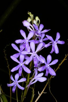 Laelia gouldiana - Orchids Wiki - Darwinara Rainbow Stars is a Darwinara hybrid.Plants are best grown hanged in baskets and on mounted and require bright to full sunlight and cool to intermediate temperatures. If hanged, the roots must be watered frequently.