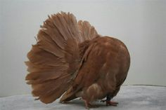 Fantail Pigeon, Animals And Pets, Cute Animals, Pigeon Breeds, Pigeon Bird, Coops, Wild Birds, Parrot, Feathers
