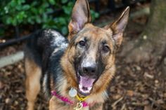Maya, 11 month old German Shepherd. Beautiful girl! Maya is available for adoption at the ASPCA Adoption Center. If you are interested in adopting please call our Adoptions department in New York City at (212) 876-7700, ext. 4120.