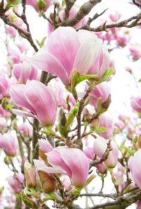 most beautiful pink flowers magnolia Most Beautiful Flowers, Big Flowers, Types Of Flowers, Exotic Flowers, Pretty Flowers, Beautiful Images, Anemone Flower, Blossom Flower, Screen Plants