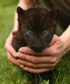 Panther Cub (You can see the spots that are on Jaguars) ....stunning animals!