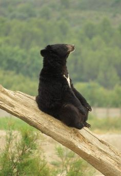 Asian black bear ours noir Vida Animal, Mundo Animal, Baby Animals, Funny Animals, Cute Animals, Beautiful Creatures, Animals Beautiful, Love Bear, Tier Fotos