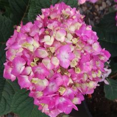 A lovely Twist'n'Shout Endless Summer Hydrangea. These flowers are huge and gorgeous!