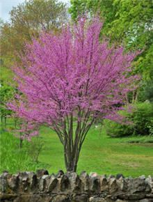Google Image Result for http://img.fast-growing-trees.com/images/D/Oklahoma_Redbud_Field_220_2.jpg