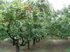 대추나무 - Google 검색
