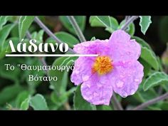 YouTube Healthy Drinks, Health Tips, Healing, Herbs, Flowers, Youtube, Plants, Herb, Plant