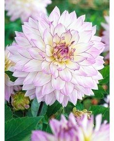 Kuvahaun tulos haulle Koristedaalia 'Crazy Love' Crazy Love, Garden, Plants, Mad Love, Garten, Lawn And Garden, Gardens, Plant, Gardening