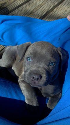 This is my blue pit Maya. She is blue razor edge/ black gotti.