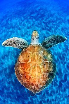 Hawaiian Green Sea Turtle  #swimsuitsforall #BeachBelle #PinYourParadise