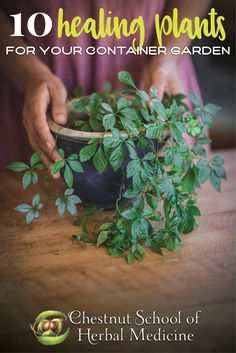 Growing Medicinal Herbs in Pots:10 Healing Plants for Your Container Garden // Chestnut School of Herbal Medicine #herbgardening #herbalife #herbalism #medicinalherbs #pottedplants