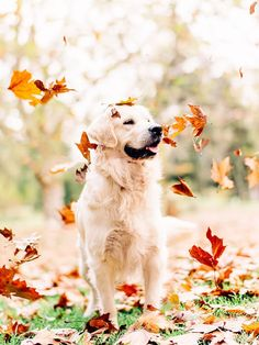 """""""Chester, our golden retriever in the Autumn Leaves at Queens Park in Toowoomba ...Photos by Samantha Gehrmann"""""""
