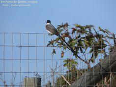 Uma graça este pássaro. Desconheço o nome. Cliquei em Punta del Diablo,Uruguai. Foto : Cida Werneck