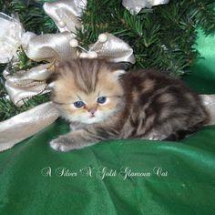 Golden tabby kitten