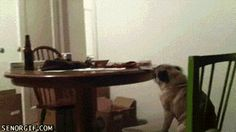 This pug that is ashamed of his dancing abilities. | 31 GIFs That Will Make You Laugh Every Time