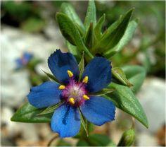 Anagallis foemina.  Florece en mayo-julio.