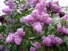 Lilac Bush-brings back good memories!