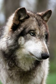 Wolf portrait in profile - inspirewithnature.com